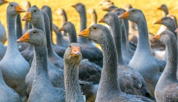 The foie gras importation ban will be implemented in the next few months, DEFRA claim - but Animal Equality and a group of cross-party politicians are calling for urgency
