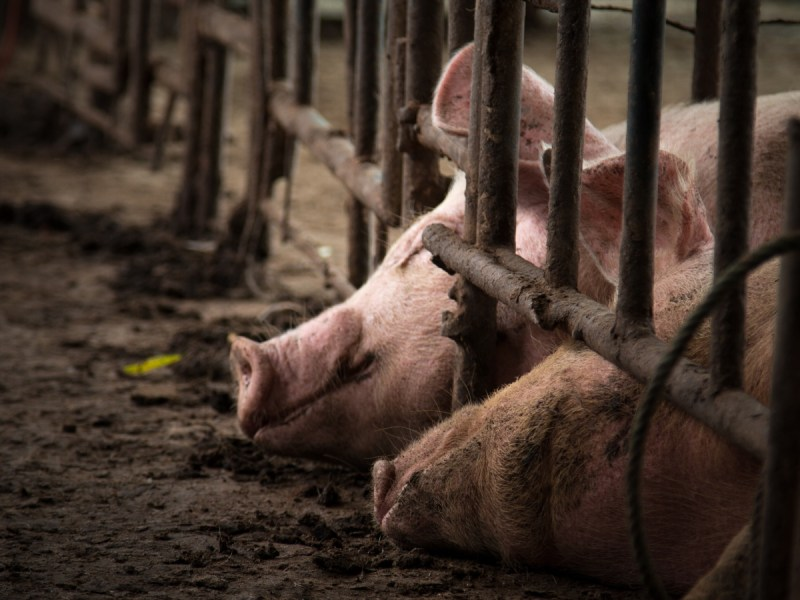 World Bank Urged To Stop Financing Ecuador's Largest Factory Farm