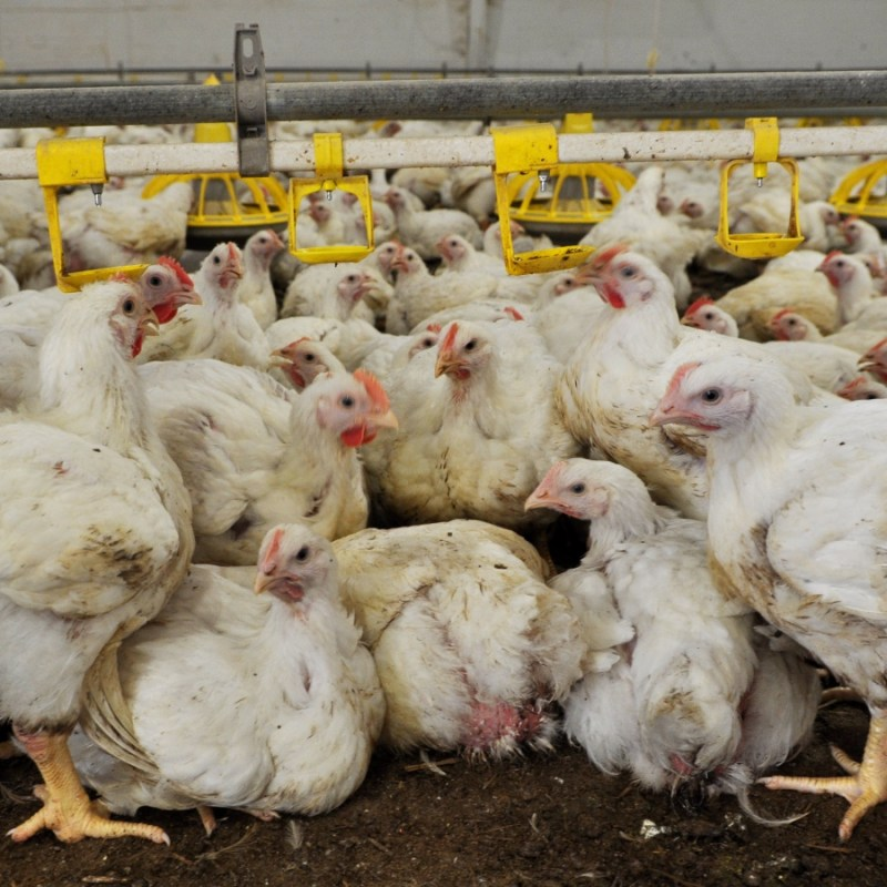 UK Government Faces Legal Challenge Over Factory Farming Due To Pandemic Threat