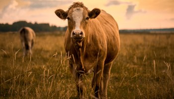 Animal Agriculture Responsible For 87% Of Greenhouse Gas Emissions, Finds New Report