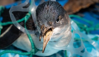 A young penguin chokes on a plastic ring from a beer can