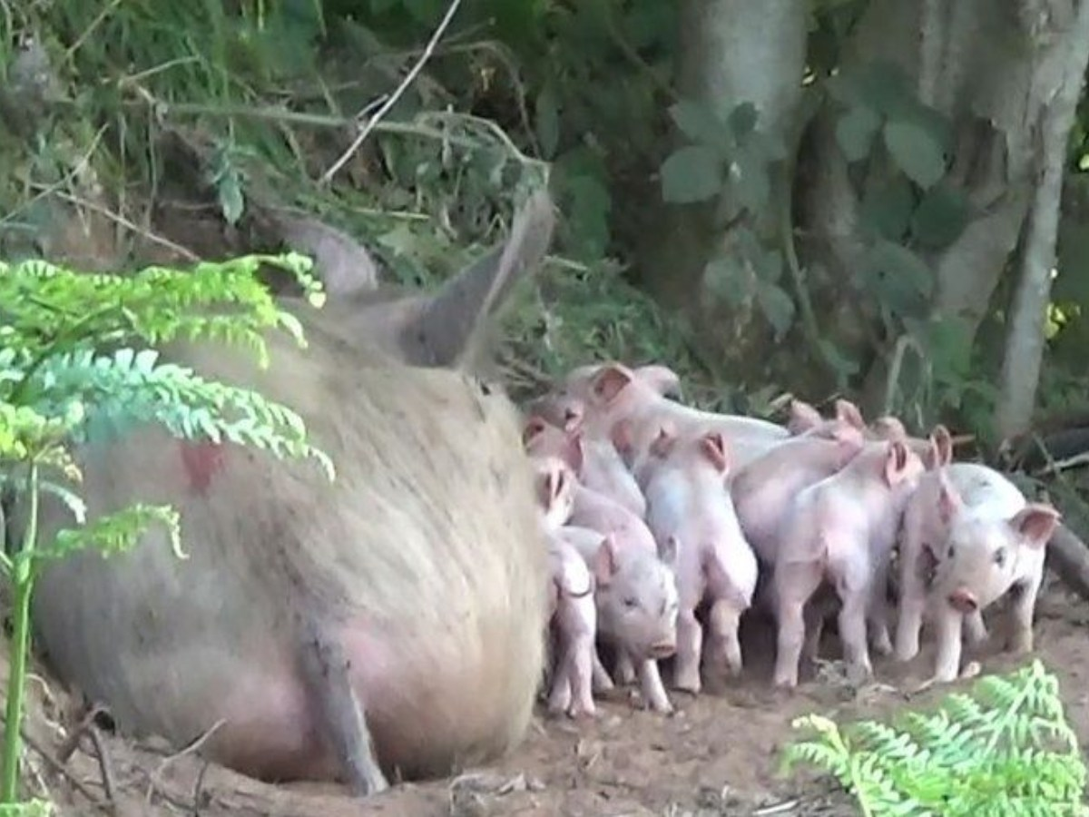 Mother pig in the woods with her piglets