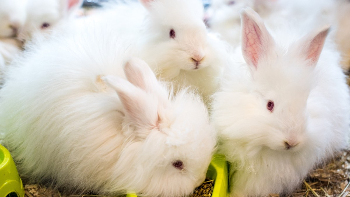 Fashion House Valentino To Phase Out Rabbit Fur