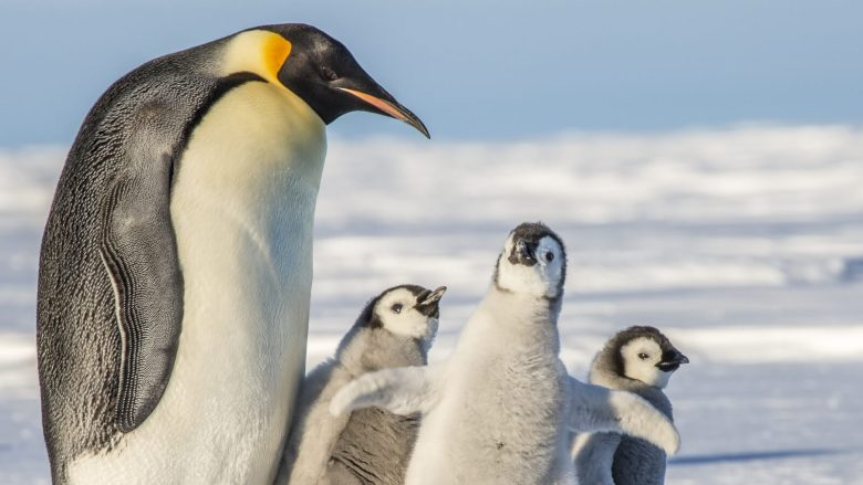 Emperor Penguins Could Be Extinct In 80 Years, Climate Crisis To Blame