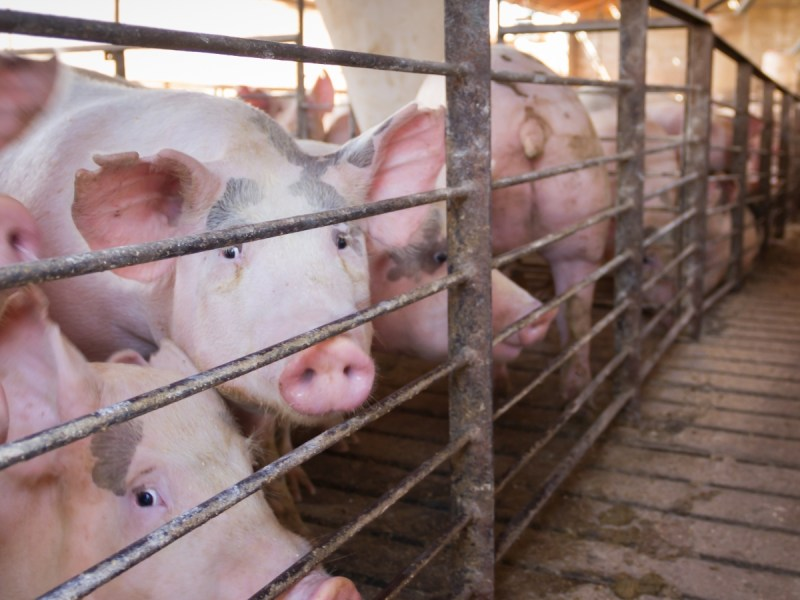 Pork Producers Fight Against Law Improving Mother Pig Welfare