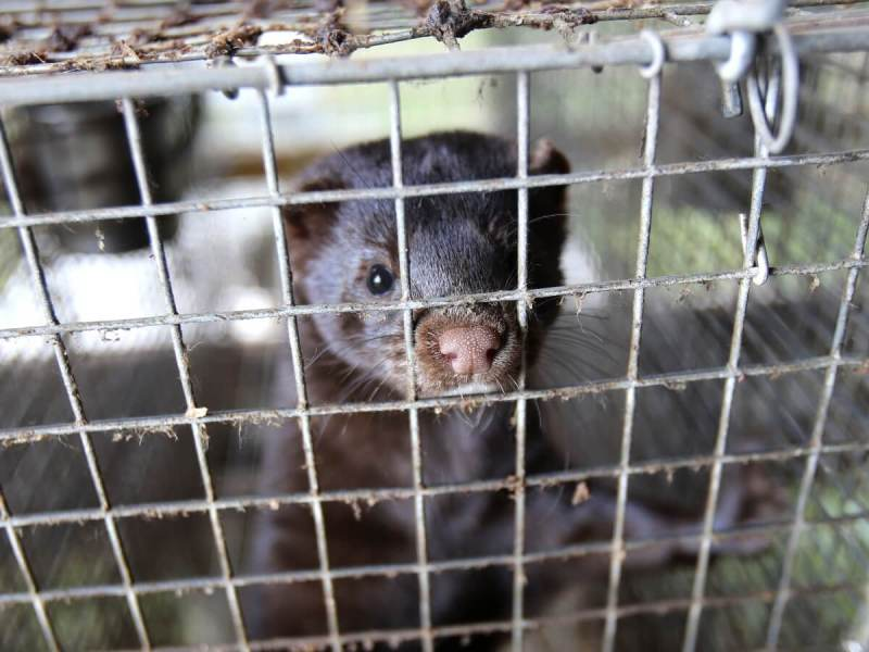 Am I An Animal Extremist? A Response To The Fur Commission USA