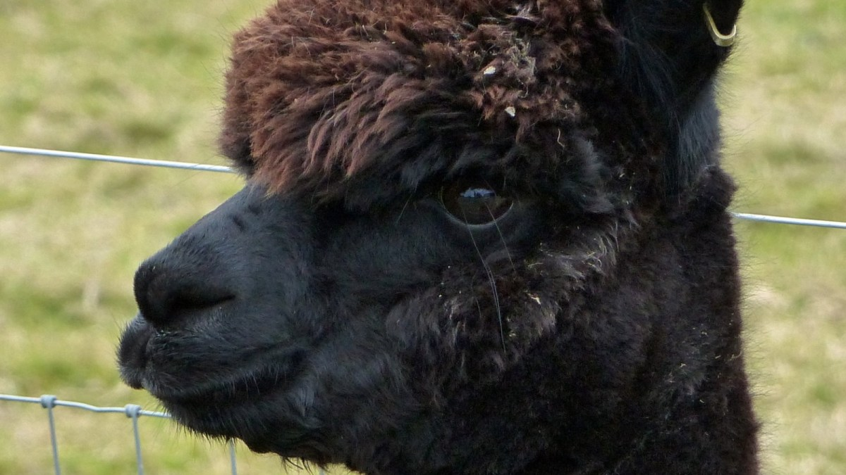 'World's Most Famous' Alpaca Killed By Government After Losing 4-Year Legal Battle