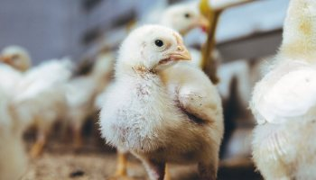 Leading Chicken Producer Accused Of 'Horrific' Animal Cruelty Following Undercover Investigation