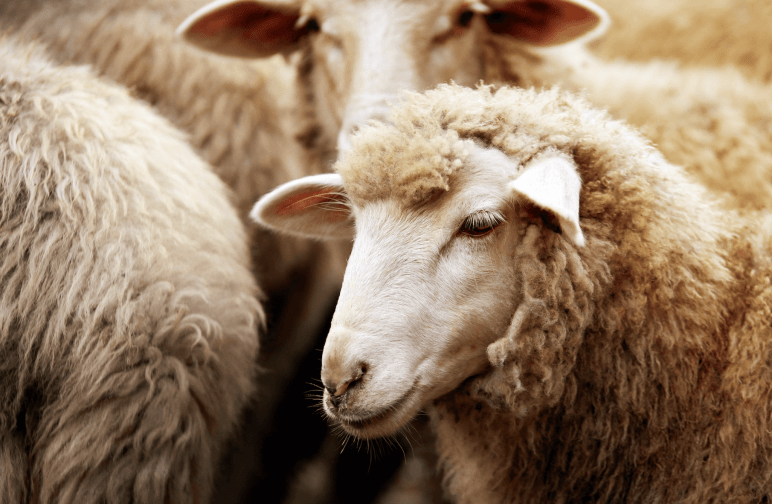 multiple sheep in a flock