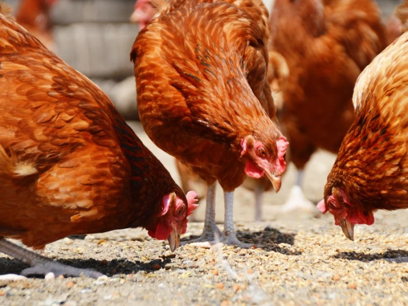 Animal rights organizations are urging the UK government to stop illegal practices across chicken farms