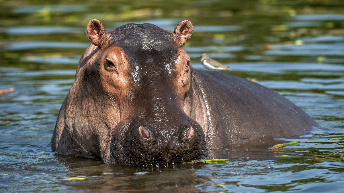 Pablo Escobar hippos recognized as legal persons in US first for animals