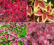 colorful foliage plants