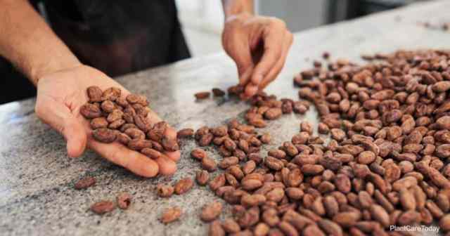 Cocoa bean before the hulls become a mulch