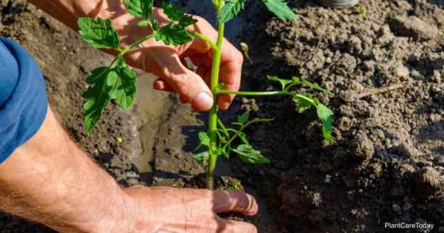 how far apart to plant tomatoes?