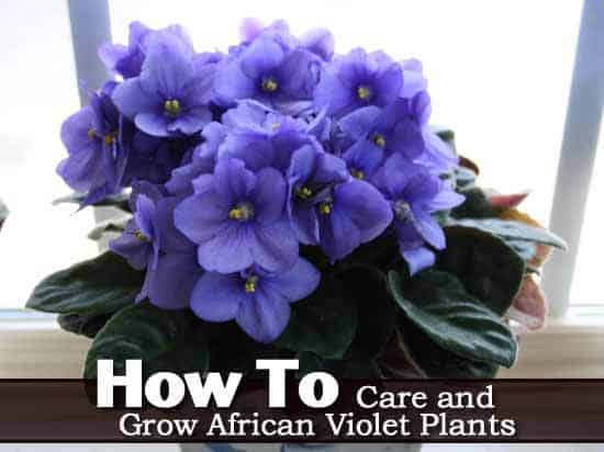 African Violet Care How To Grow African Violet Plants GUIDE