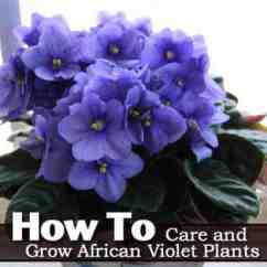 Small Kitchen Table Ideas Stoves For Sale African Violet Care: How To Grow Plants [guide]