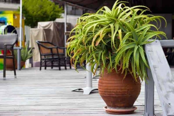 Aloe potted in terra cotta container used for design on an outdoor patio