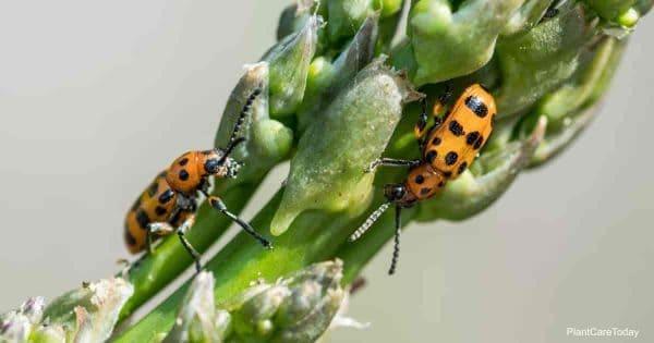 Feeding Asparagus Beetle Learn Control Tips