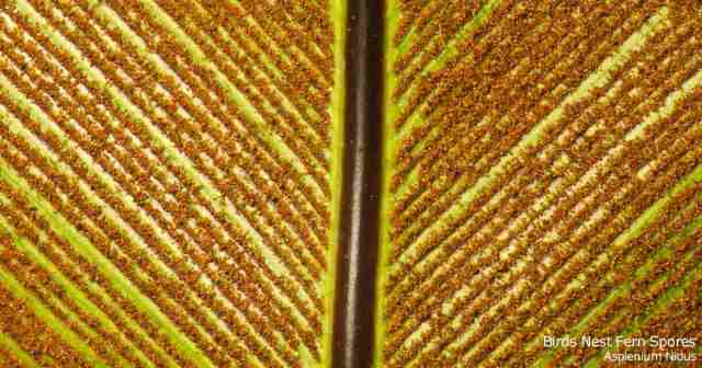 spores on underside of Asplenium leaf
