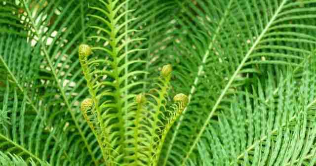 Blechnum - silver lady fern