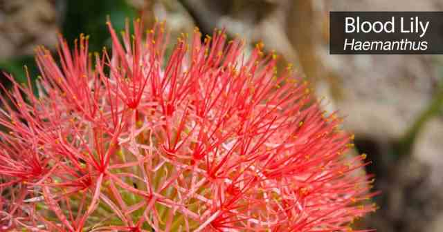 blood-lily-plant-care-06302016