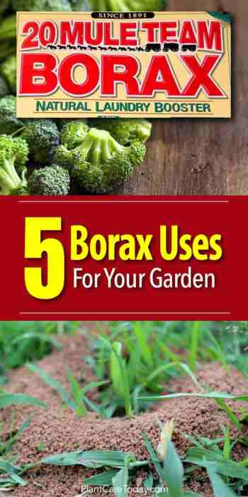 borax kills ants and help broccoli with boron deficiency