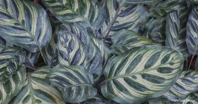 Calathea makoyana aka peacock plant
