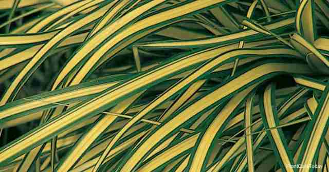 Attractive Carex evergold from Proven Winners