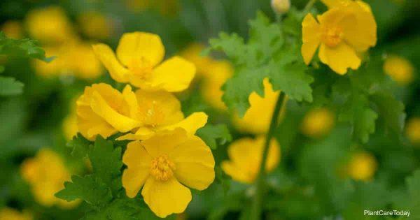 Yellow blooms of the Celandine Poppy