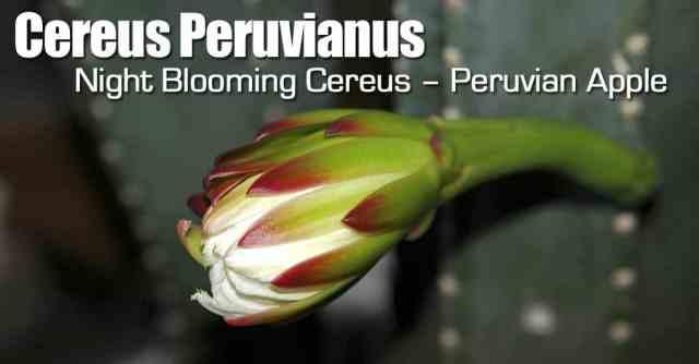 cereus-peruvianus-093014