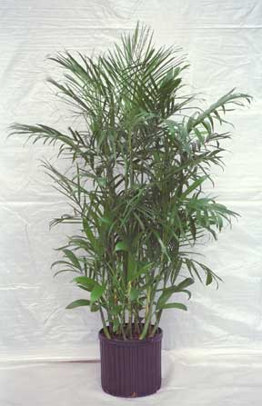 potted bamboo palm (chamadorea) grown fr use indoors