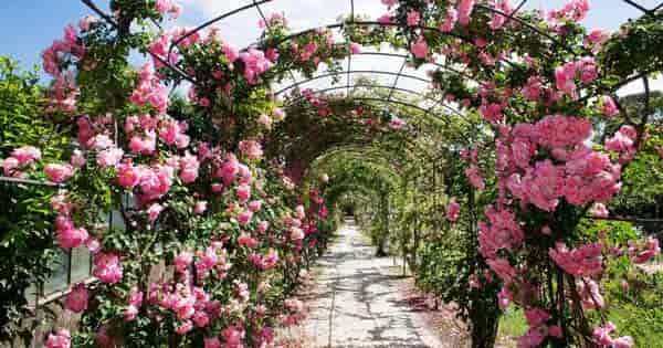 landscaping rose garden - choosing
