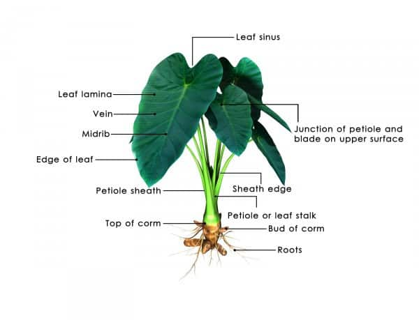 diagram of outside ear ac wiring thermostat elephant ears plant: how to grow the colocasia