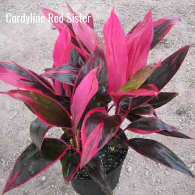 bright colors of the Cordyline Red Sister