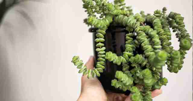 potted Baby's Necklace Vine