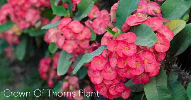 blooms on a growing crown of thorns plant
