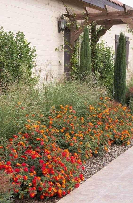 lantana plant - grow