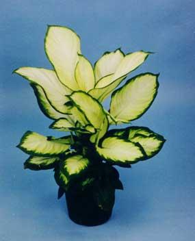 Dieffenbachia Camille