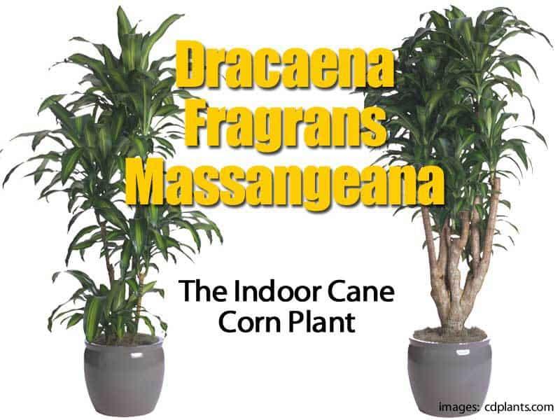 Corn Palm Plant &OT16