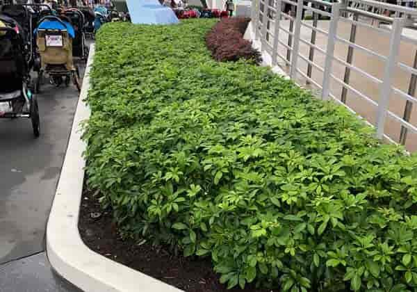 Dwarf schefflera growing as a hedge - Disney Magic Kingdom - Tomorrowland