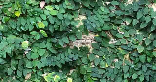 "Ficus pumila ""creeping fig"" growing on wall at Disney's Animal Kingdom Orlando Florida, Oct 2018"