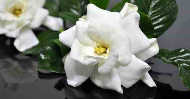 gardenia-blooms-glass-07312015