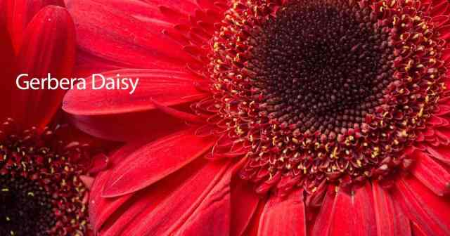 close up of a Gerbera daisy plant with a bright red flower