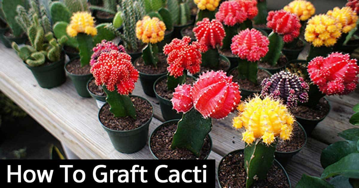 How To Graft Cacti