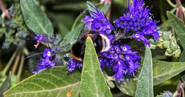 Purple flowering Caryopteris clandonensis