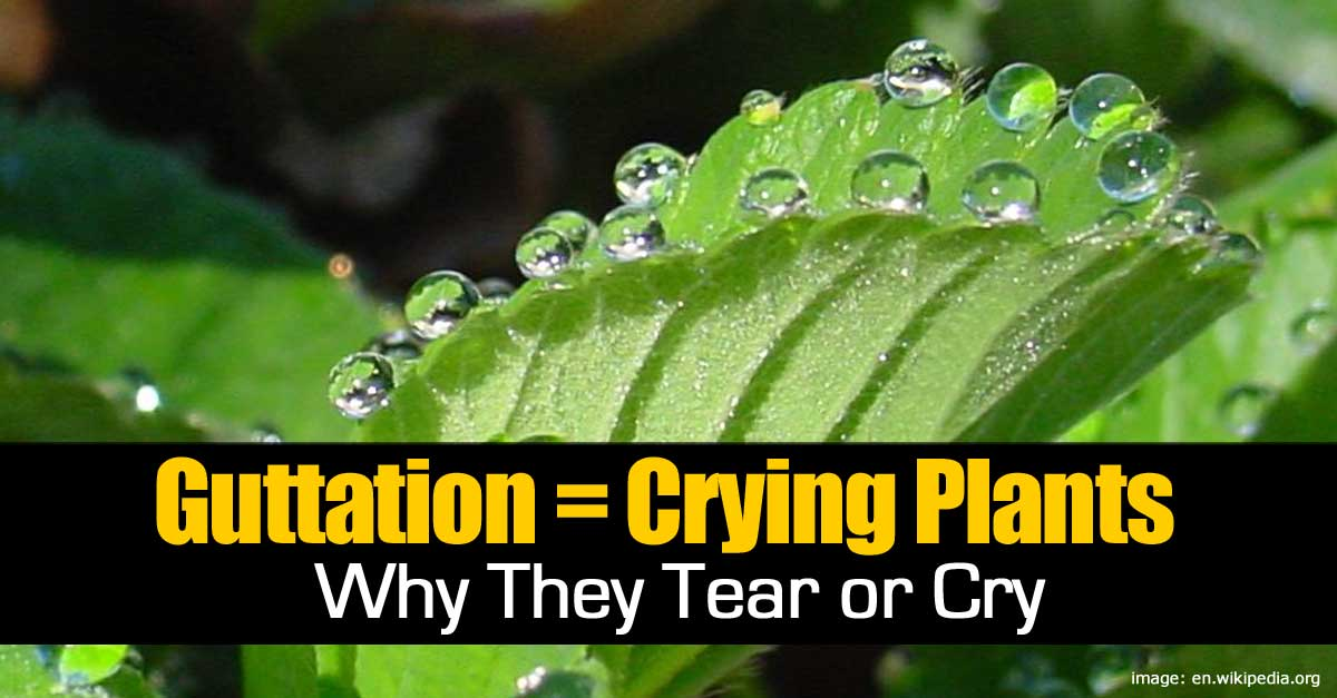 Guttation  Crying Plants  Why They Tear or Cry