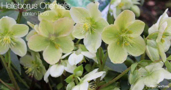 Attractive blooms of the Helleborus Orientalis - Lenten Rose Plant