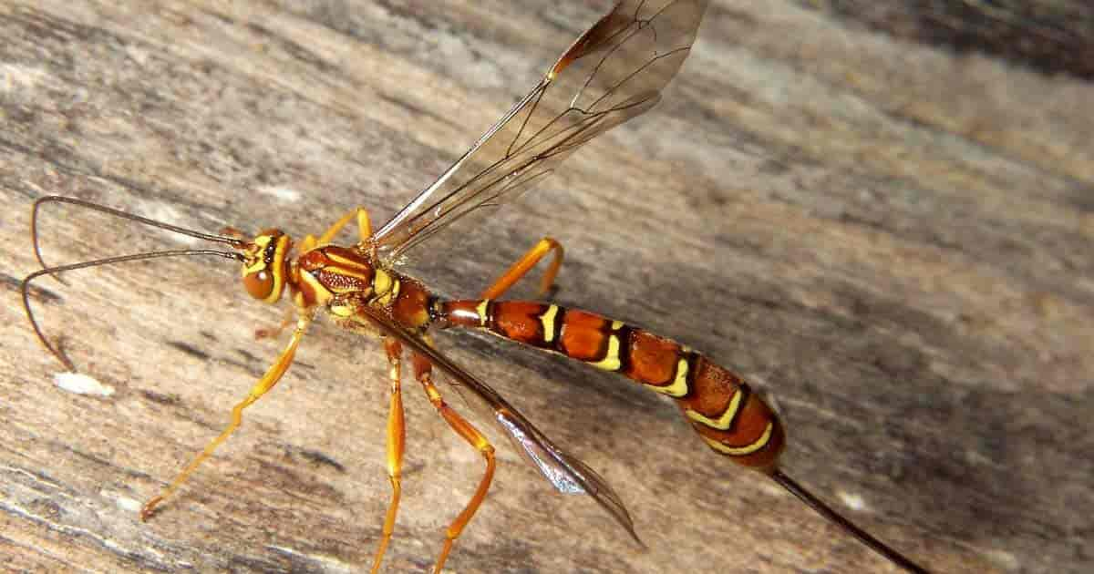 Ichneumon Wasp How To Control Garden Pests Naturally Use Guide