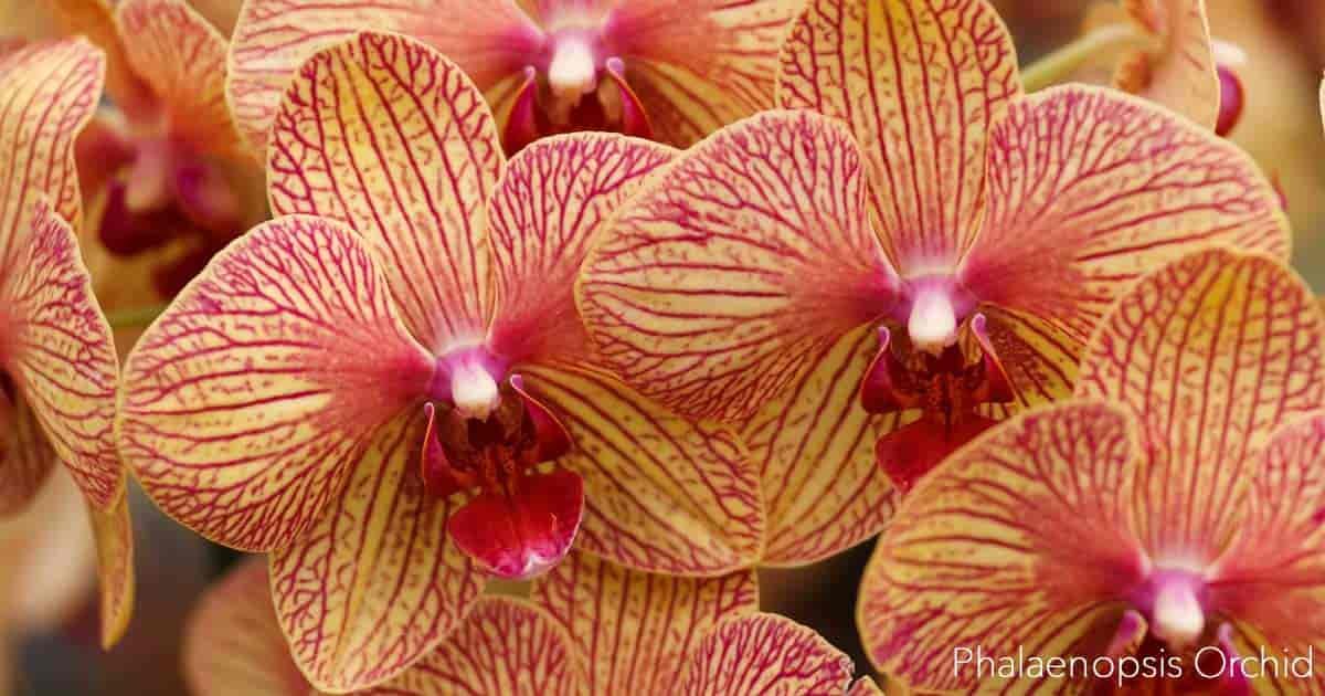 Growing Orchids Indoors Tips On Care Of Orchid Plants Indoors