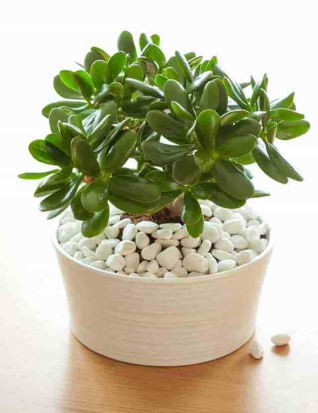 potted jade growing as a houseplant
